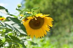 Сцена летнего дня с заводом солнцецвета Предпосылка желтого цветка сада лепестка солнечная мягкая зеленая Стоковая Фотография RF