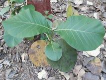 Сцена 2 зеленых листьев с много высушенных листьев Стоковая Фотография