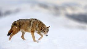 Сцена зимы с животным волка опасности Стоковые Фото