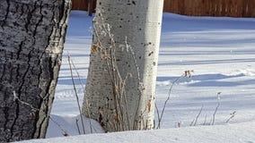 Сцена зимы, хоботы Aspen в снеге Стоковое Фото