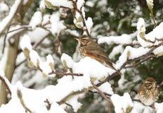 Сцена зимы iliacus Turdus белобровика садилась на насест на ветви дерева магнолии в пурге Ветви предусматриваны в снеге Стоковая Фотография RF
