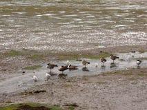 Сцена канадских гусынь стоя неподвижный в линии в малом Стоковые Изображения