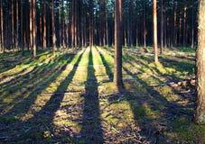 Сцена красивого захода солнца на лете, сосновом лесе с shad деревьев Стоковые Фотографии RF