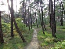Сцена леса - сосна стоковые фото