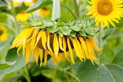 Сцена летнего дня с заводом солнцецвета Фото предпосылки желтого цветка сада лепестка солнечное мягкое зеленое Стоковые Фото