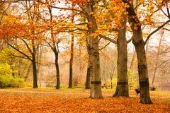 Сцена осени в Берлине при упаденные листья на том основании и деревья теряя их желтую и красный цвет выходит в общественный парк  Стоковая Фотография