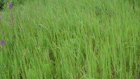 Сцена одичалой травы луга видеоматериал