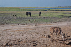 Сцена саванны Ботсваны стоковое изображение