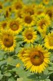 Сцена сада солнцецвета Стоковые Изображения