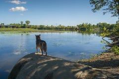 Сцена собаки на реке Des Milles Iles стоковая фотография rf