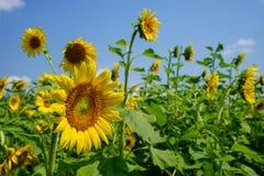 Сцена яркого красивого желтого свежего поля ландшафта солнцецвета показывая мягкий лепесток, зеленый стержень, выходит с предпосы Стоковые Изображения