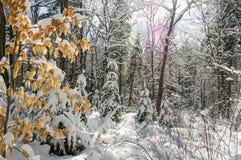 Сцены зимы в древесинах Стоковые Изображения
