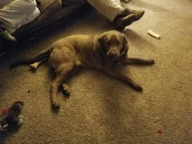 Счастливая большая собака Брауна стоковые изображения rf