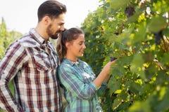 Счастливая женщина в винограднике проверяя виноградины Стоковая Фотография RF