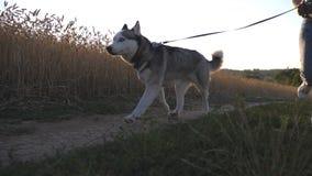 Счастливая женщина в солнечных очках бежать с ее любимчиком вдоль дороги около золотого луга Милая собака сибирской лайки вытягив сток-видео