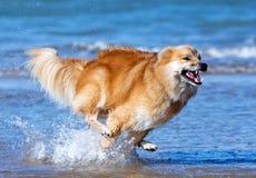 Счастливая идущая собака стоковое фото