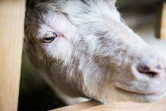 Счастливая коза подробно стоковое фото
