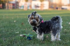 Счастливая маленькая собака имеет пролом во время его playtime стоковое фото