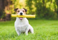 Счастливая отечественная взрослая собака играя с ручкой игрушки как щенок на лужайке задворк лета стоковое изображение