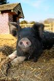 счастливая свинья Стоковые Изображения
