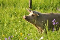 Счастливая свинья Стоковые Фото