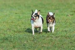 Счастливая семья собаки, собака с щенятами, собака матери потехи, счастливые собаки имея потеху в поле, бежать на поле Чихуахуа стоковая фотография rf