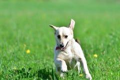 Счастливая собака бежать на зеленом луге Стоковое фото RF