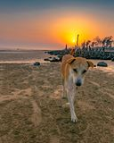 Счастливая собака идя в индийский пляж во время красочного захода солнца на заднем плане стоковое фото