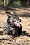 Счастливая собака лежа на том основании в пуще Стоковое Фото