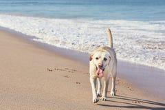Счастливая собака на пляже песка Стоковые Фотографии RF