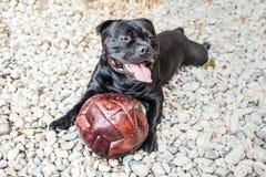 Счастливая собака терьера быка Стаффордшира с кожаным шариком он имеет Стоковое Изображение
