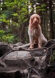 Счастливая собака, Labradoodle, идя для прогулки леса стоковые фото
