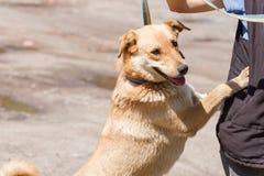 Счастливая усмехаясь склонность собаки против предпринимателя, дружелюбной смешанной разведенной лаборатории Стоковые Фотографии RF