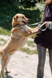 Счастливая усмехаясь склонность собаки против предпринимателя, дружелюбной смешанной разведенной лаборатории Стоковое Фото