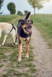 Счастливая черная и tan собака стоя задыхающся на сельской дороге фермы Стоковое Изображение