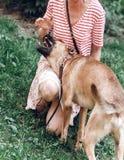 Счастливое женское предприниматель играя с собакой outdoors, напористое biti собаки стоковое изображение