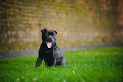 Счастливое усаживание Terrier собаки стоковое фото rf