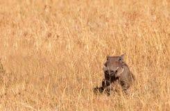 счастливое warthog Стоковые Фото