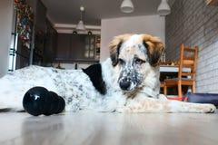 Счастливые большие игры собаки с игрушкой стоковая фотография rf