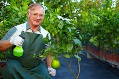 Счастливые внимательности садовника для грейпфрута в greenery Стоковые Фото