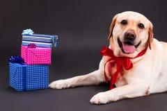 Счастливые желтые labrador и подарочные коробки Стоковое Изображение RF