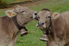 Счастливые коровы в Швейцарии стоковое фото rf