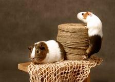 счастливые свиньи жизни Стоковые Фото