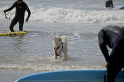 Счастливые сиплые собака и серфер на пляже Гордон Тель-Авив, Израиль стоковые изображения rf
