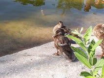 Счастливые утки в парке стоковое фото rf