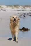 Счастливый золотистый Retriever на песчаном пляже стоковое изображение