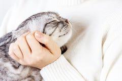 Счастливый котенок любит быть заштрихованным рукой женщины Великобританское Shorthair scottish портрета котенка предпосылки близк стоковое фото rf