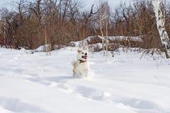 Счастливый красивый чистоплеменный японец Акита Inu собаки при его язык вставляя вне бежит через сугробы в зиме в поле Стоковое фото RF