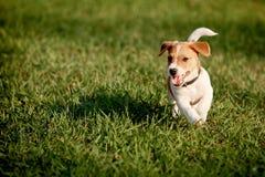 Счастливый щенок в траве открывает терьера Рассела jack мира Стоковые Изображения RF