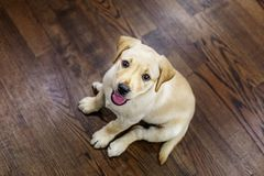 Счастливый щенок Лабрадора сидит в комнате Взгляд сверху Концепция pe Стоковое Фото